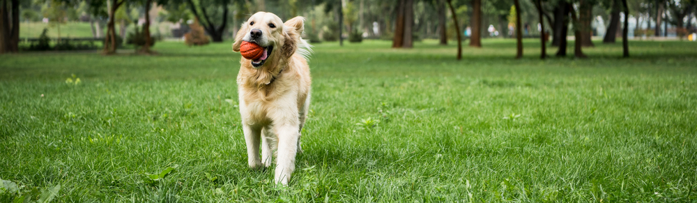 happy dog retrieving ball